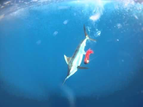 VIDEO: Sport Fishing Underwater Cam Marlin Action!